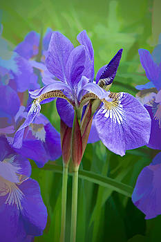 Iris by James Bullard
