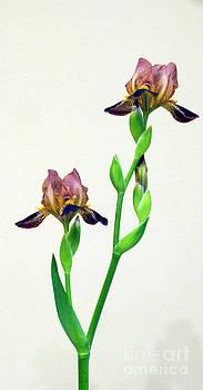 Byron Varvarigos - Iris Mauve Majesty