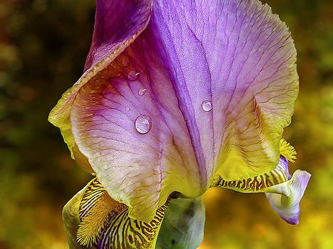 Iris by Phil Clark