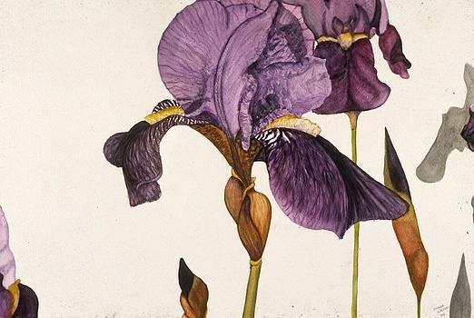Iris by Shara  Wright