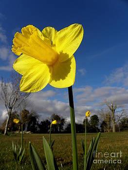 Irish Daffodil by Frances Hodgkins