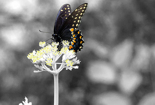 Isolated Swallowtail Butterfly by Lorri Crossno