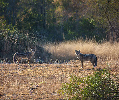 Jackals by Craig Brown
