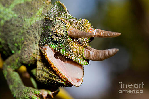 David Fleetham - Jacksons Chameleon