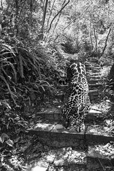 Lynn Palmer - Jaguar on the Prowl