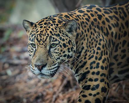 Jaguar Stare by Phil Abrams