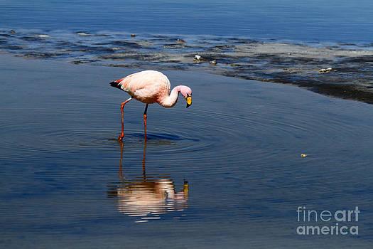 James Brunker - James or Puna flamingo