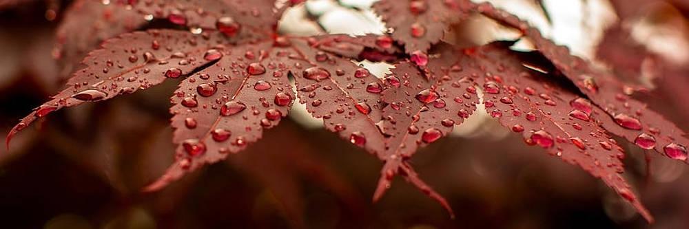 Japanese Maple Leaf by Bob Noble Photography