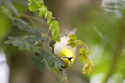 Japanese White Eyes Bird by Alex Galiano