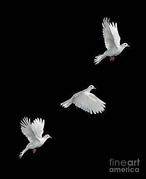 Stephen Dalton - Java Dove in Flight
