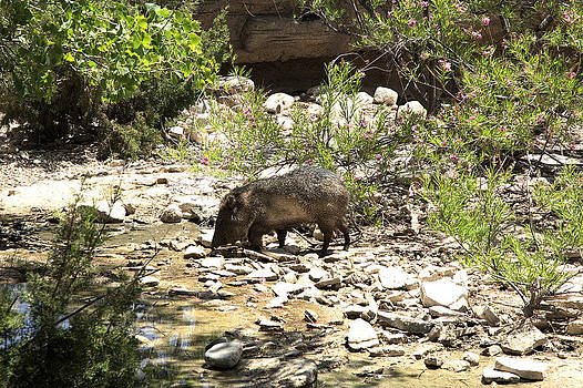 Javelina at the Watering Hole by Ralph Brannan