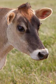 Michelle Wrighton - Jersey Cow Portrait