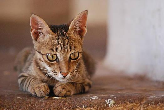 Jodhpur Kitten by Louise Morgan