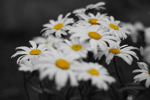 Just a couple of daisy's by Andrew Barker