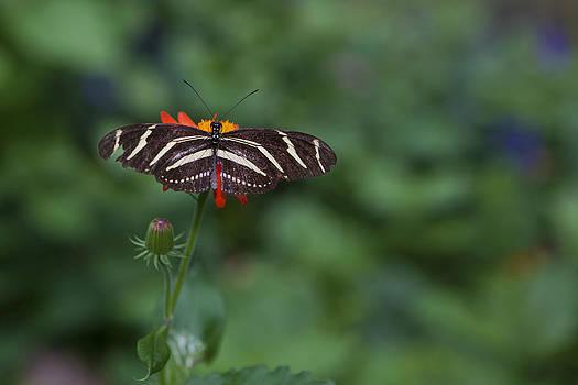Kanapaha Butterfly I by Charles Warren