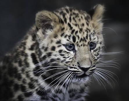 Kanika - Amur leopard portrait by Chris Boulton