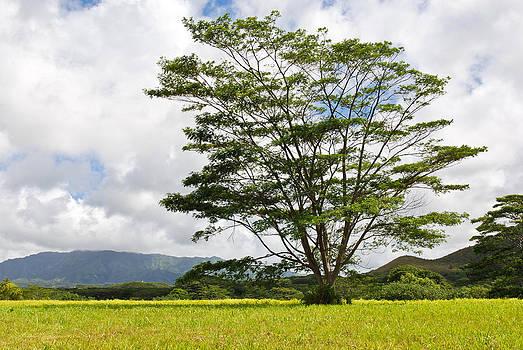Kauai Umbrella Tree by Shane Kelly
