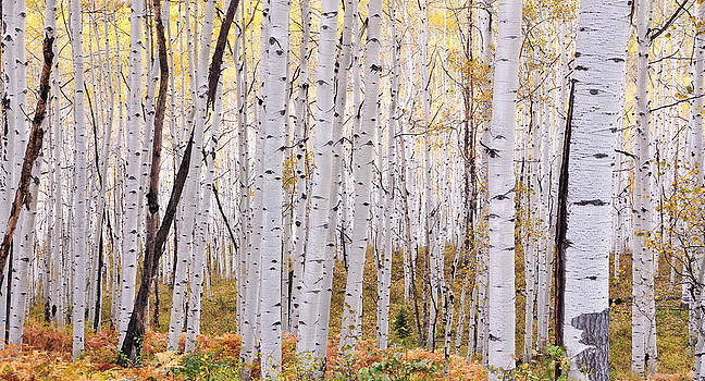 Kebler Pass Aspen by Adam Paashaus