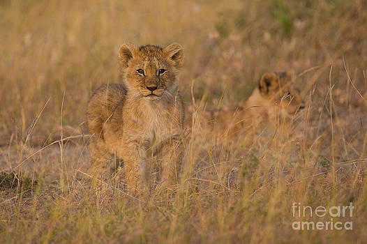 Kenyan Kitten by Ashley Vincent