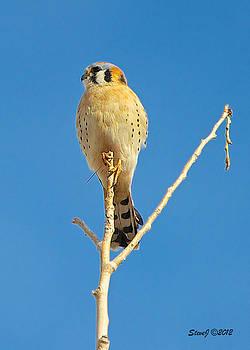 Kestrel Falcon by Stephen  Johnson