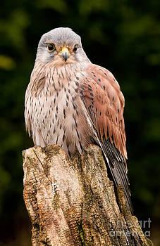 Simon Bratt Photography LRPS - Kestrel perched close up
