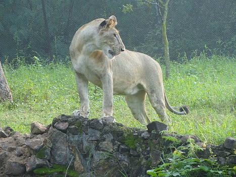 King Lion by Haroon  Basha