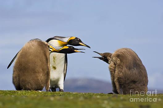 Frans Lanting MINT Images - King Penguin Chicks Begging For Food