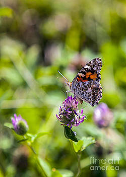 Painted Lady by Kimberly Nyce