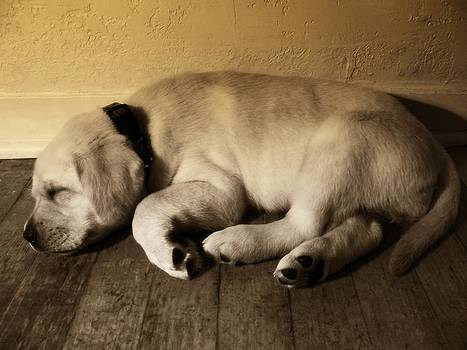 Labrador Puppy Taking a Nap by Abram House