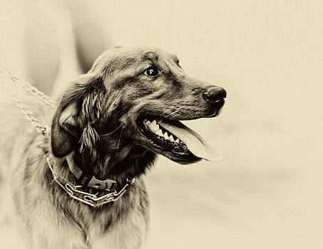 Labrador Retriever by Jerome Lynch