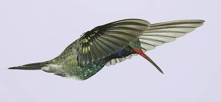 Gregory Scott - Lacy Wings