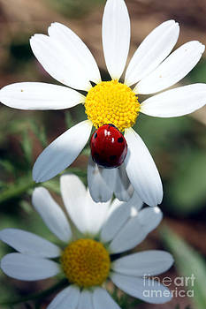 Nick Gustafson - Lady Bug and Daisy