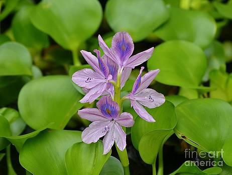 Lady Hyacinth by Scott Mitchell
