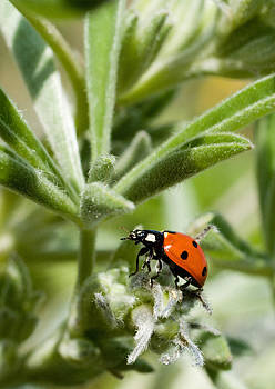 Ladybird Beetle Hunting on Lupine by Randal Ketchem