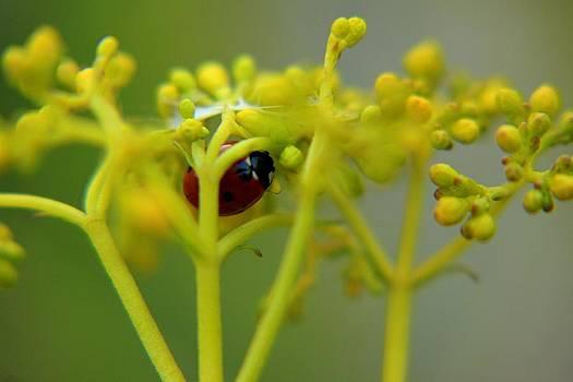 Ladybug In Green by Daliya Photography