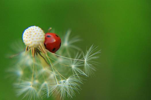 Ladybug in white dandelion by Daliya Photography