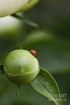 Ladybug on a Peony Bulb by Brandon Alms