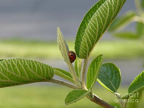 Ladybug on Leaf by Thierry Borcy