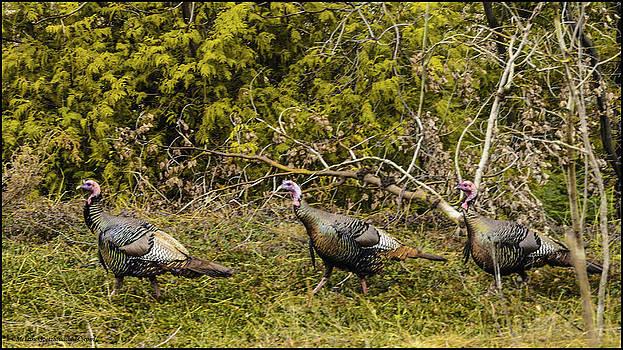 LeeAnn McLaneGoetz McLaneGoetzStudioLLCcom - Lake Michigan Wild Turkey