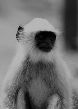 Ramabhadran Thirupattur - Langoor - Hanuman Monkey