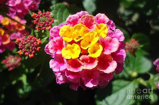 Lantana Blooms and Buds by Paula Talbert