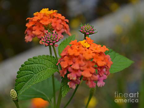 Lantana Bouquet by Scott Mitchell