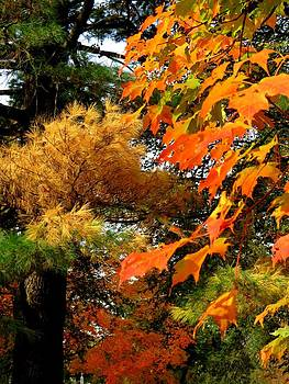 Larch and Maple by Anne Sterling