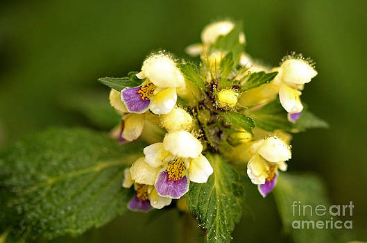 Liz  Alderdice - Large flowered Hemp-nettle