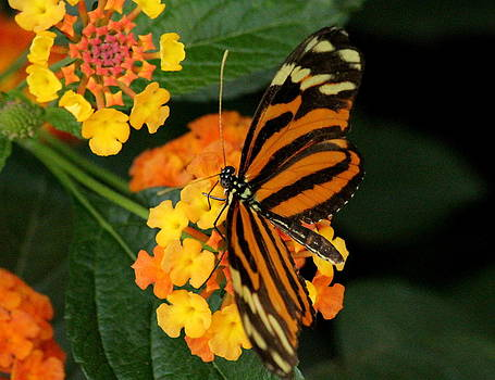 Rosanne Jordan - Large Tiger Butterfly