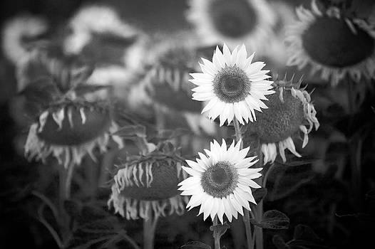 Last Blooms by Peter Falkner