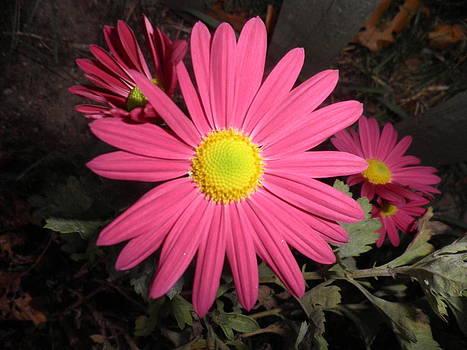 Kate Gallagher - Last Daisy