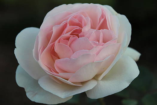 Late Summer's Rose by Patricia Hiltz