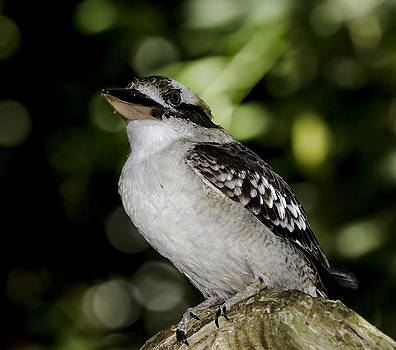 Laughing Kookaburra by Mr Bennett Kent