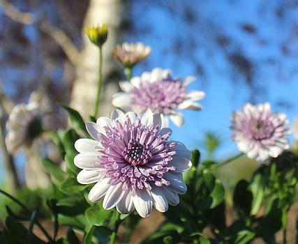 Lavender Conflower by David  Jones
